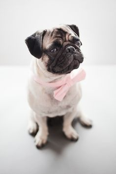 Is there anything cuter than a pug in a bow tie?!