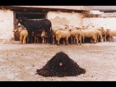 Kilenc Magyar Kutyafajta: komondor kuvasz puli pumi mudi vizsla a Dog Lover Gifts, Dog Lovers, Hungarian Puli, Puli Dog, Komondor, Herding Dogs, Vintage Dog, Dog Show, Vizsla