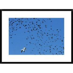 """Global Gallery 'Red-Winged Blackbird and Yellow-Headed Blackbird Mixed Flock With Snow Goose' Framed Photographic Print Size: 22"""" H x 30"""" W x 1.5"""" D"""