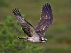 Osprey fishing in Scotland. Steller's Sea Eagle, Falcon Hawk, Birds Of Prey, Raptors, Beautiful Pictures, Scotland, Fishing, Finland, Country