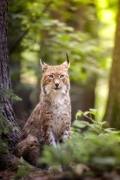 Lynx by René Unger