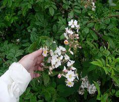 Dog Rose hedging (Rosa canina)