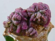Trichocereus pachanoi cv หินสีม่วง (PURPLE STONE) monstruosus NO variegated 1 in Garden & Patio, Plants, Seeds & Bulbs, Plants & Seedlings   eBay