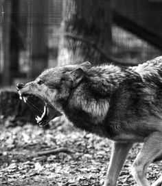 Tattoo Wolf Angry Posts 44 New Ideas Wolf Love, Bad Wolf, Wolf Spirit, My Spirit Animal, Beautiful Wolves, Animals Beautiful, Tier Wolf, Regard Animal, Animals And Pets