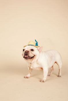 frenchie with a fedora