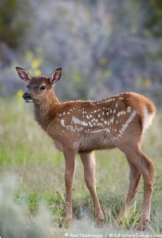 Elk Calf in Yellowstone National Park, Wyoming by lolita Safari Animals, Animals And Pets, Baby Animals, Cute Animals, Forest Animals, Oh Deer, Baby Deer, Wild Animals Pictures, Animal Pictures