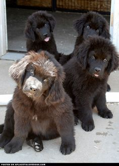 Newfoundland puppies snuggle crew!!!! Who's ready for a snuggle? Omg ...