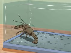 How to care for Crayfish