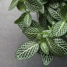 Houseplant - Fittonia White