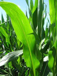 Iowa State's Corn Website