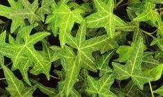 hedera helix border - Google Search