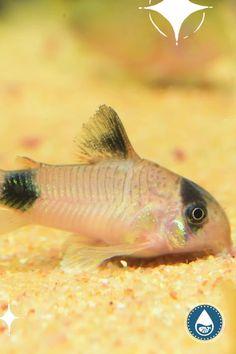 Tropical Freshwater Fish, Tropical Fish, Small Catfish, Cory Catfish, Fish Care, Little Fish, Live Plants, Aquarium Fish, Habitats