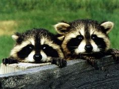 Watching You ... http://www.bing.com/images/search?q=racoon=detail=E3F44AC20A24008694B79151AB00B59760671891=31=IDFRIR