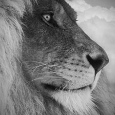 Male Lion By Tim Lynch