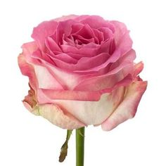 Avalanche Candy Roses are pink & usually available all year round. 50cm stem lengths this wholesale cut flower is wholesaled in 20 stem wraps.