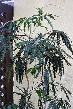 False Aralia—Growing Schefflera elegantissima Indoors: A mature false aralia. Juvenile plants have more slender leaves.