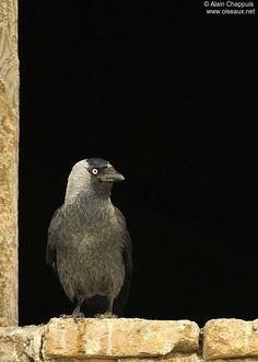 Choucas des tours - Coloeus monedula ... oiseau plein d'esprit Choucas Des Tours, Jackdaw, Crows Ravens, Birds, Crow, Animaux, Feathers, Spirit, Ravens