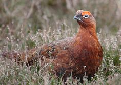 Red Grouse Grouse Hunting, Game Birds, Pheasant, Bird Prints, Owl, Ducks, Animals, Animales, Animaux