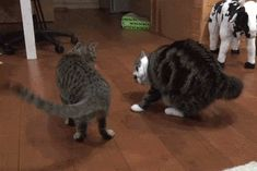 Cats Gifs Cats — beckyblackbooks:   Mortal enemies.