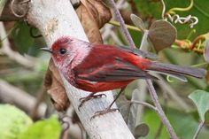 Pink-headed Warbler,  SW highlands of Guatemala & Mexican state of Chiapas