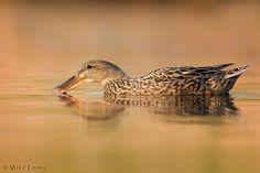 Northern Shoveler Hen spooning water  by Mike Lentz Photography, via Flickr