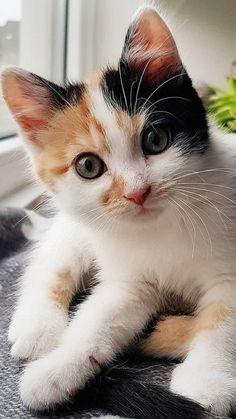 Kittens And Puppies, Cute Cats And Kittens, Baby Cats, I Love Cats, Kittens Cutest, Pretty Cats, Beautiful Cats, Animals Beautiful, Tier Fotos