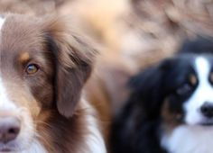We had a beautiful walk with @miniaussie.lucy today by two.aussies