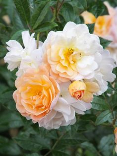 Rosa 'Ghislaine de Feligonde' | The Teddington Gardener