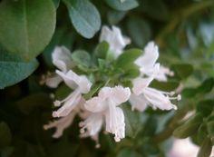 Albahaca en flor
