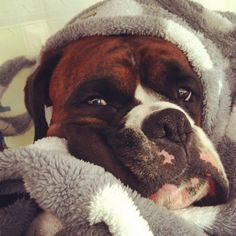If anything, Boxer dogs know how and where to get comfortable.