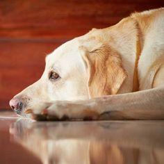 PARNÍ ČIŠTĚNÍ: Nejúčinnější způsob údržby domácnosti Labrador Retriever, Books, Animals, Labrador Retrievers, Libros, Animales, Animaux, Book, Animal