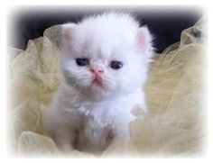 teacup persian kittens - Google Search