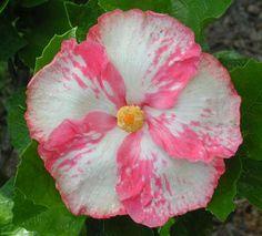 Hibiscus 'Maria Grazia'