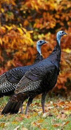 Beautiful Birds, Animals Beautiful, Adorable Animals, Funny Animals, Autumn Animals, Wild Animals, Wild Animal Wallpaper, Tier Wallpaper, Wild Turkey