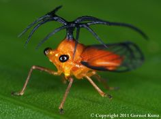 #Treehopper #insect #mimicry #spider