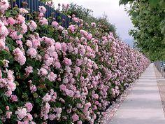 Wall of a English roses