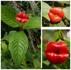 HOT Lips Flowers Home and Garden Hot Sale! Production Detail: Various types of plant variety, perhaps you have seen. But have you ever seen a lips flowers? It gained the name for shape resembling a sexy and attractive lips. Unusual Flowers, Unusual Plants, Amazing Flowers, Succulent Seeds, Succulents, Planting Seeds, Planting Flowers, Types Of Plants, Outdoor Plants
