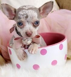 Teacup Chihuahua For Sale, Baby Chihuahua, Teacup Pomeranian, Best Dog Toys, Best Dogs, Best Dog Names, Amazing Animals, Adorable Animals, Rottweiler Puppies