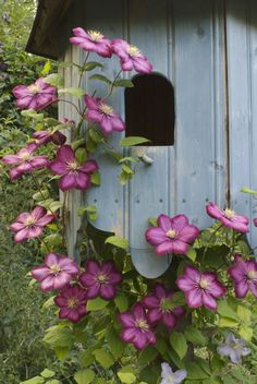 Place your next birdhouse within a group of clematis to gussy up your feathered friend's resting spot.