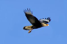Foto caracará (Caracara plancus) por Ivan Angelo   Wiki Aves - A Enciclopédia das Aves do Brasil