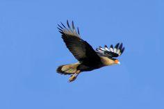 Foto caracará (Caracara plancus) por Ivan Angelo | Wiki Aves - A Enciclopédia das Aves do Brasil
