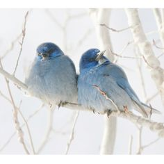 Beautiful little Mountain Bluebirds snuggle together.