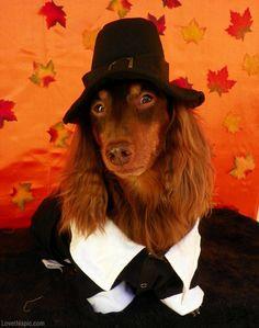 Pilgrim dog cute animals autumn halloween costume ideas dog costumes pet costume ideas