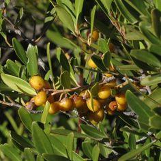 Maytenus oleoides