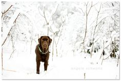 Chocolate Lab in the snow...must take some of these this year. :)