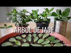 Cómo REPRODUCIR con éxito la suculenta ÁRBOL DE JADE: 3 métodos || en20metros - YouTube Diy Planters, Planter Pots, Indoor Bonsai Tree, Cactus Y Suculentas, Beautiful Flowers, Succulents, Green, Propagation, Youtube