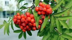 Samhain, Rowan, Flora, Vegetables, Fruit, Inktober, November, Cottage, Pictures