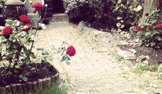 Grootbloemige roos Ingrid Bergman in bloei