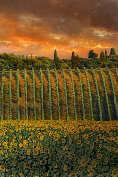 Vineyard and sunflowers in Tuscany, Italy by David Hobcote on 500px