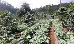 Most of the (coffee) farmers here actually grow vegetables like potatoes as you see in the picture .. But land conservation on the mountain slopes necessitates them to also grow coffee plants that have stronger roots .. And the coffee plants thrive in turns as they get nutrients from the farmers keep adding organic fertilizers ..